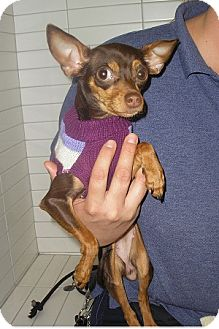 Miniature Pinscher/Chihuahua Mix Dog for adoption in Oceanside, California - Reese
