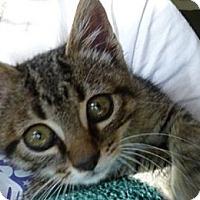 Adopt A Pet :: Sawyer - Kensington, MD