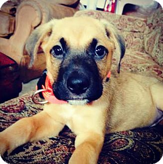 Shepherd (Unknown Type)/Boxer Mix Puppy for adoption in Hainesville, Illinois - Grizzly Bear