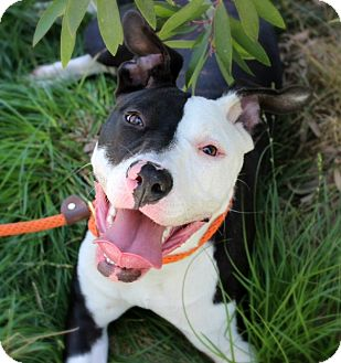 Pit Bull Terrier/Pointer Mix Dog for adoption in Los Angeles, California - Gemini