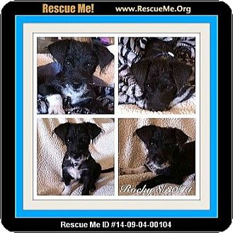 Poodle (Miniature)/Border Terrier Mix Puppy for adoption in Murrieta, California - Rocky