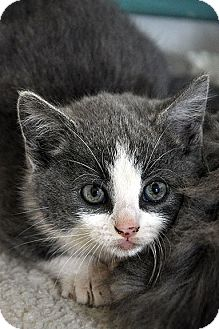 Domestic Shorthair Kitten for adoption in Fort Leavenworth, Kansas - Samantha