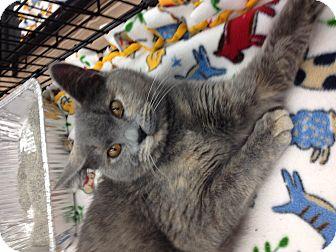 Domestic Shorthair Cat for adoption in Great Falls, Montana - Trablinka