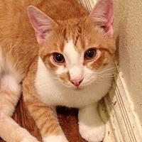 American Shorthair Kitten for adoption in Wichita Falls, Texas - Kirby