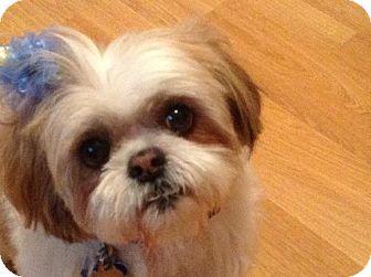 Shih Tzu Dog for adoption in London, Ontario - Chewbacca
