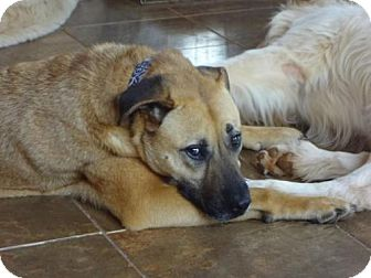 Shepherd (Unknown Type) Mix Dog for adoption in Point Pleasant, Pennsylvania - CARLY-