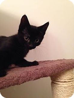 Domestic Shorthair Kitten for adoption in Woodstock, Ontario - Chuckie