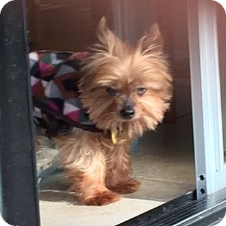 Yorkie, Yorkshire Terrier Dog for adoption in Oakland, California - RUDY