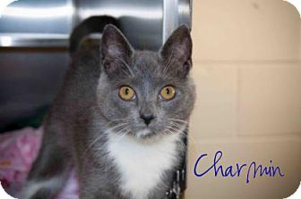 Domestic Shorthair Kitten for adoption in Middleburg, Florida - Charmin