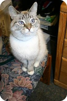 Domestic Shorthair Cat for adoption in Olympia, Washington - 41262