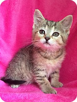 Bengal Kitten for adoption in Nashville, Tennessee - Holly Beth