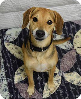 Beagle Mix Dog for adoption in Lisbon, Ohio - Freddy