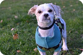 Shih Tzu Mix Dog for adoption in Linden, New Jersey - GIZMO