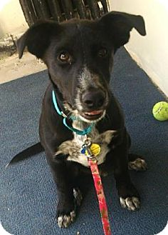 Blue Heeler/Terrier (Unknown Type, Medium) Mix Dog for adoption in West Des Moines, Iowa - Logan