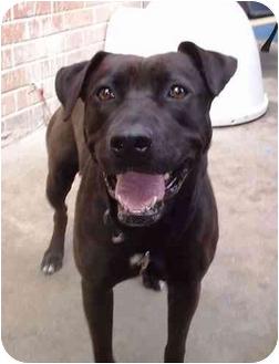 Labrador Retriever Mix Dog for adoption in West Los Angeles, California - Porsche