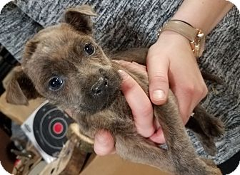Mountain Cur Mix Puppy for adoption in Laingsburg, Michigan - Lucus