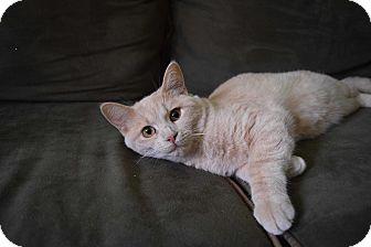 Domestic Shorthair Kitten for adoption in Flushing, Michigan - Carmello