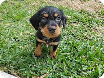 Terrier (Unknown Type, Small)/Dachshund Mix Puppy for adoption in Fort Atkinson, Wisconsin - Finch