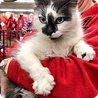 Adopt A Pet :: Desiree, Delightful Long-Haired Doll - Brooklyn, NY