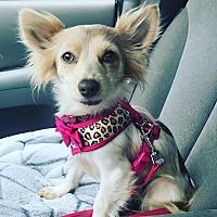 Adopt A Pet :: Pumkin Pie-ADOPT Me! - Redondo Beach, CA