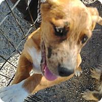 Adopt A Pet :: Boss - Ogden, UT
