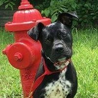 Adopt A Pet :: Scotty - justin, TX