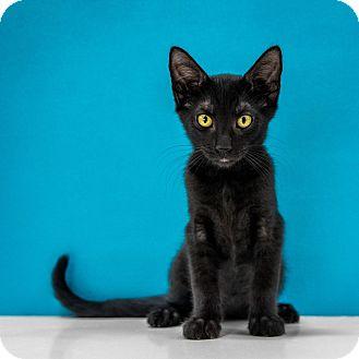Domestic Shorthair Kitten for adoption in Chandler, Arizona - Jehoshaphat