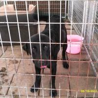 Adopt A Pet :: Steel - Opelousas, LA