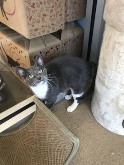 Domestic Shorthair/Domestic Shorthair Mix Cat for adoption in Anderson, South Carolina - Diamond