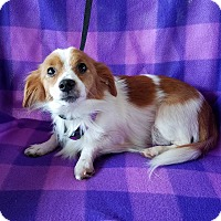 Chihuahua Mix Dog for adoption in Brattleboro, Vermont - Astoria