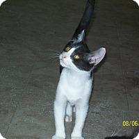Domestic Shorthair Kitten for adoption in Mexia, Texas - Hooper