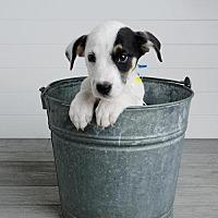 Adopt A Pet :: Samoa - Denver, CO