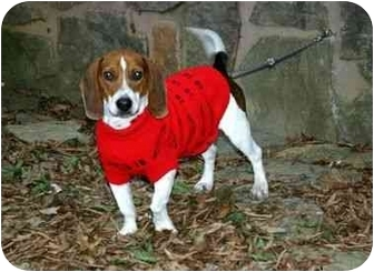 Beagle Mix Dog for adoption in Muldrow, Oklahoma - Jackson