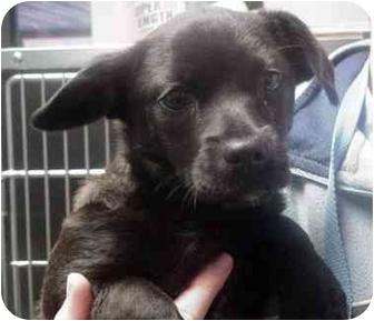 Pug/Chihuahua Mix Dog for adoption in Manassas, Virginia - Rosa Lee