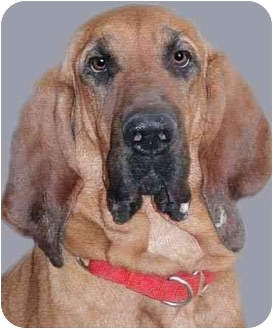 Bloodhound Dog for adoption in Grass Valley, California - Nell