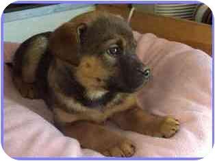 German Shepherd Dog/Husky Mix Puppy for adoption in Arlington, Virginia - Princess Leia