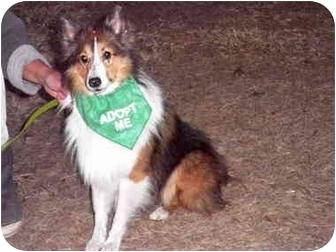 Sheltie, Shetland Sheepdog Dog for adoption in Brooksville, Florida - BUSTER