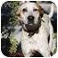 Photo 2 - Australian Cattle Dog/Labrador Retriever Mix Dog for adoption in Sacramento, California - Copper