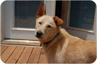 Shepherd (Unknown Type)/Collie Mix Dog for adoption in Seneca, South Carolina - Shep