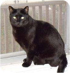 Domestic Shorthair Cat for adoption in Medford, Massachusetts - Amos