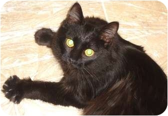 Domestic Longhair Cat for adoption in East Hanover, New Jersey - Midnight