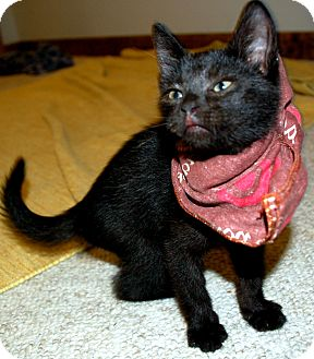 Domestic Mediumhair Kitten for adoption in Worcester, Massachusetts - Nat Bussichio