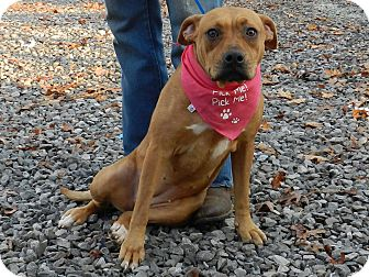 Boxer/American Staffordshire Terrier Mix Puppy for adoption in Lawrenceburg, Tennessee - Becky