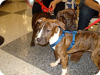 Boxer/Pit Bull Terrier Mix Puppy for adoption in San Dimas, California - Tuesday