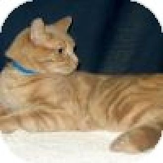 Domestic Shorthair Cat for adoption in Powell, Ohio - Theodore