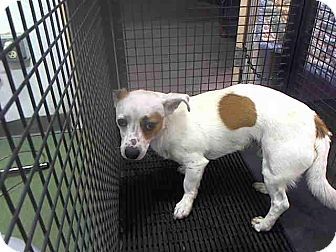 Chihuahua Mix Dog for adoption in San Diego, California - Spot URGENT