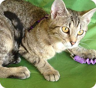 Bengal Kitten for adoption in Farmington, Michigan - Hannah: 6 months