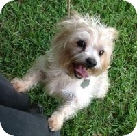 Maltese Mix Dog for adoption in Kingwood, Texas - Sooni