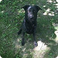 Adopt A Pet :: Midnight - Lewisville, IN