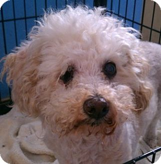 Poodle (Miniature) Dog for adoption in Kirby, Texas - Goldie